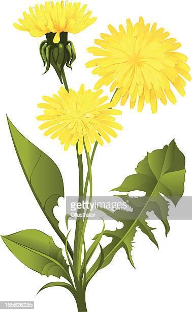 illustrations, cliparts, dessins animés et icônes de fleur de pissenlit isolé sur blanc - fleur de pissenlit