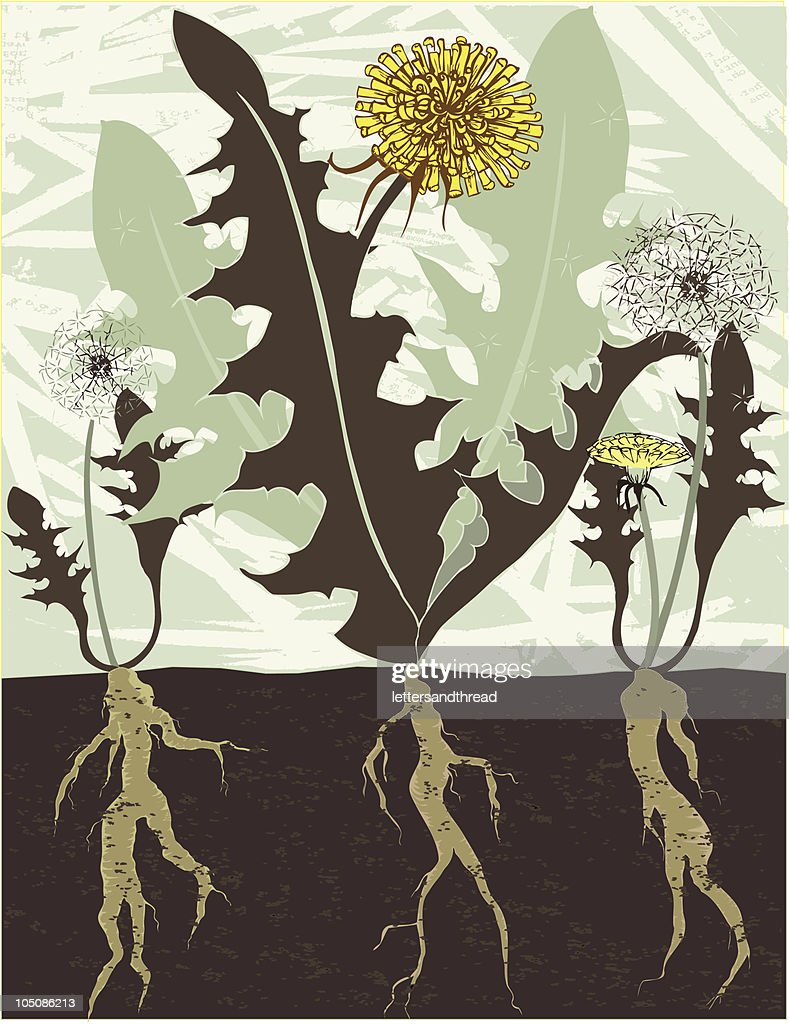 dandelions and roots