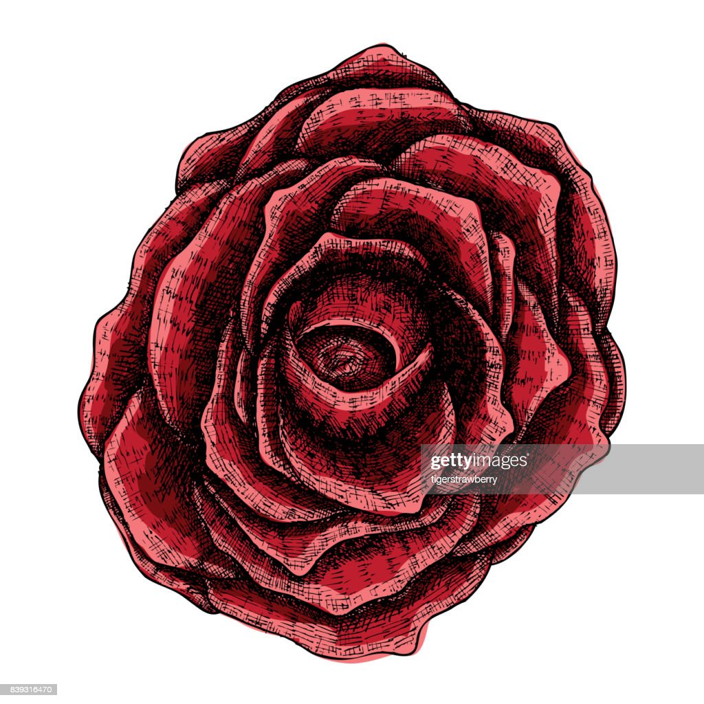 Dark Red Rose Hand Drawn Isolated On White Drawing Sketch Of