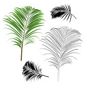 Decoration  tropical house plant leaf palm   nature  outline and silhouette  vintage vector illustration editable