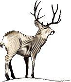 Deer Engraving