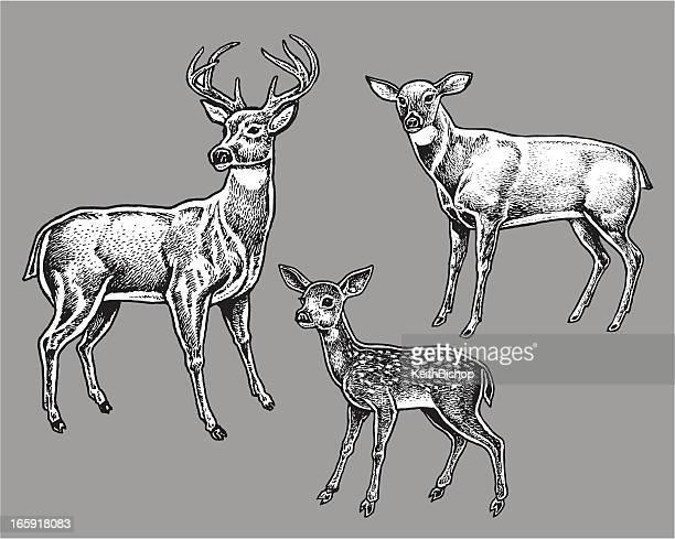 illustrations, cliparts, dessins animés et icônes de cervidé-animaux sauvages, buck et doe, fauve - biche