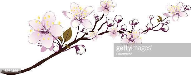 ilustraciones, imágenes clip art, dibujos animados e iconos de stock de delicadas branch abloom - cherry tree