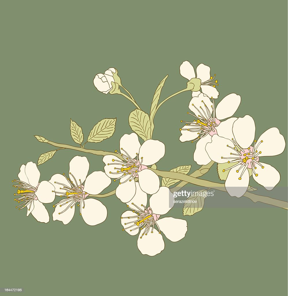 Delicate white cherry blossom branch on green background