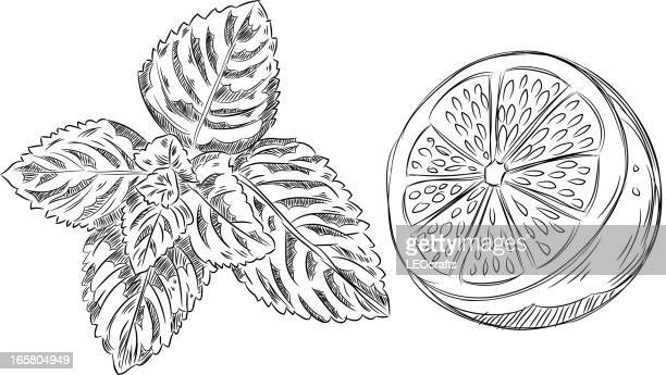 detailed drawings of mint and lemon - mint leaf culinary stock illustrations, clip art, cartoons, & icons