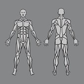 Diagram of human muscular system