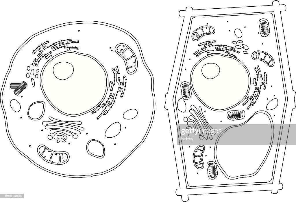Diagram Of Plant And Animal Cells Vector Art | Getty Images