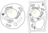 Free download of Plant Cell Diagram Unlabeled vector ...
