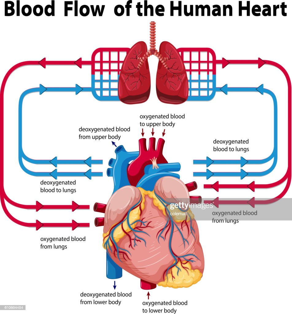 Diagram Showing Blood Flow Of Human Heart High-Res Vector ...