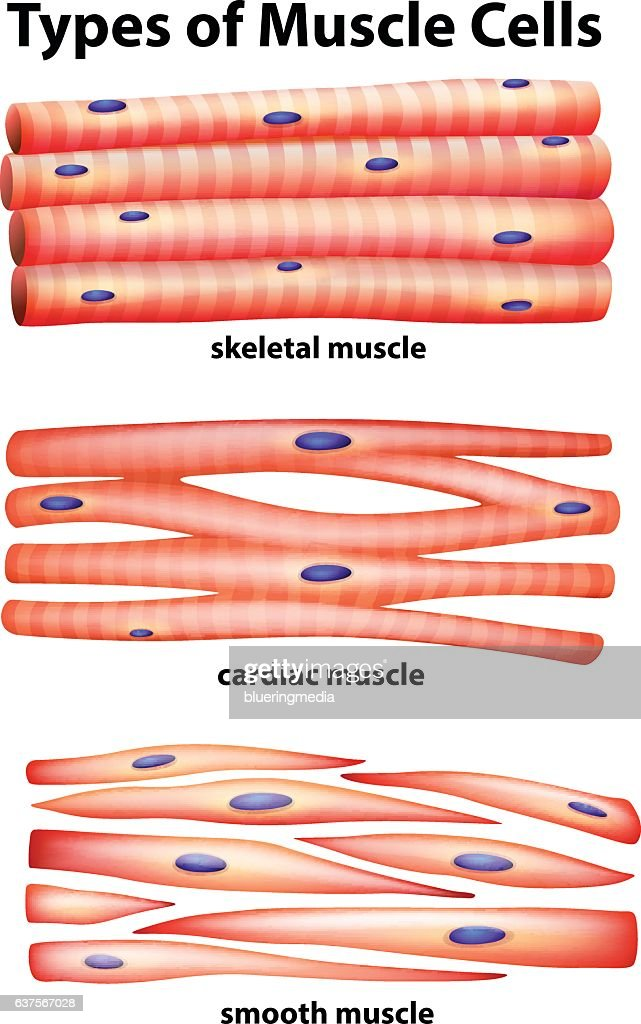 Diagram Showing Types Of Muscle Cells Vector Art Getty Images