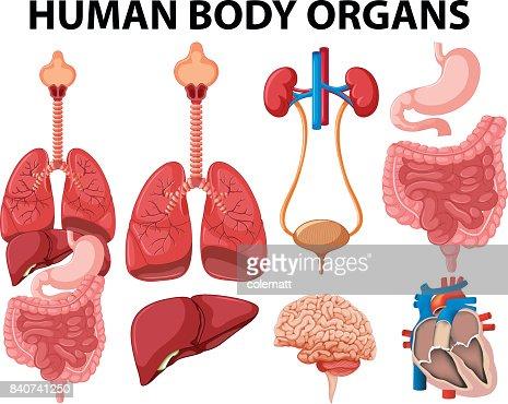 Verschiedene Arten Von Menschlichen Körperorganen Vektorgrafik ...