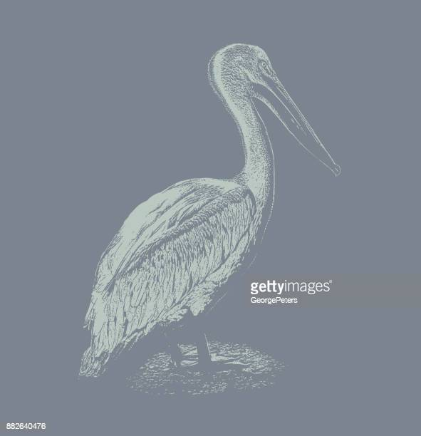discovering mexico. american white pelican - pelican stock illustrations