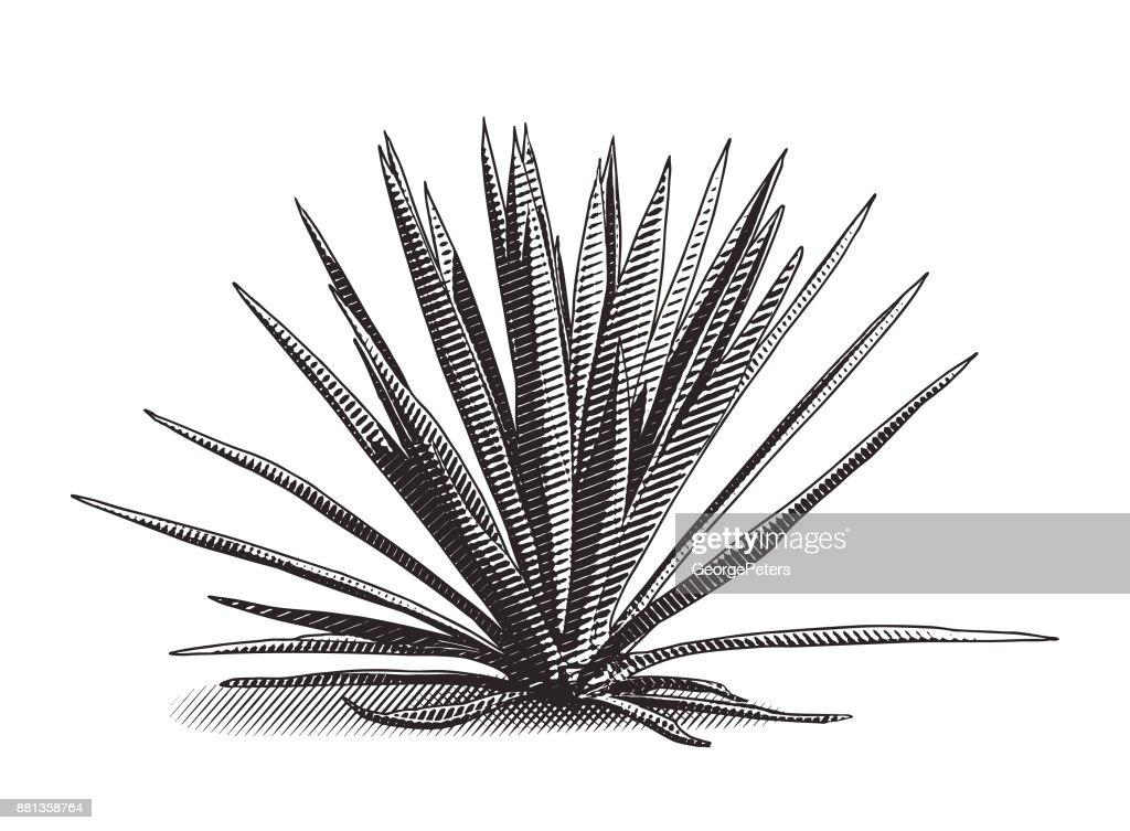Descobrindo o México. Blue Agave planta gravura : Ilustração