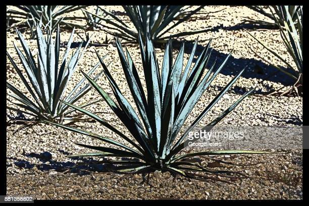 Discovering Mexico. Blue Agave