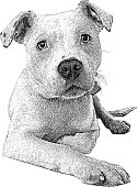 Dog. Pit Bull