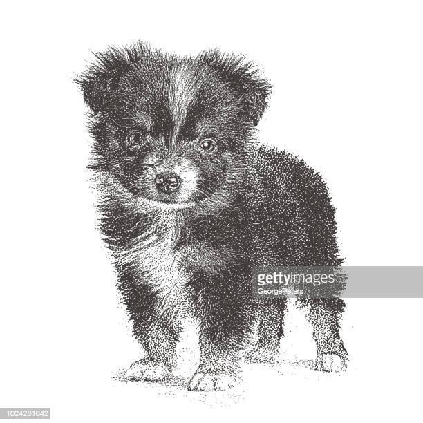 Dog, Puppy, Mini Australian Shepherd