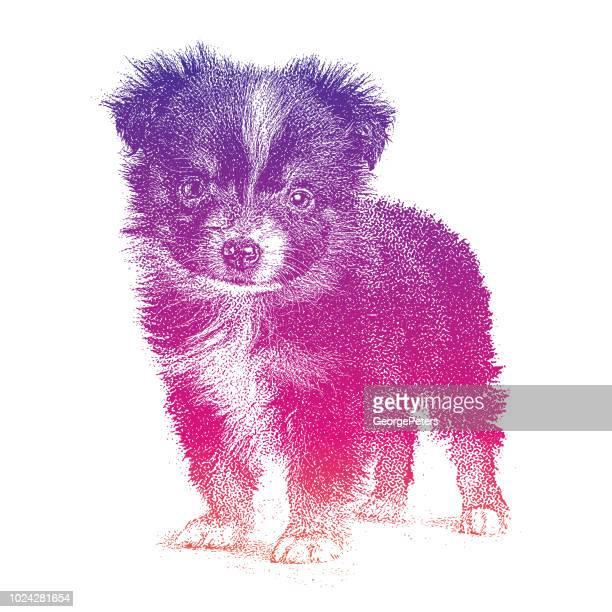 Hund, Welpe, Mini-Australian Shepherd