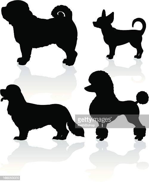 Dogs - Poodle, Pug, Chihuahua, King Charles Spaniel