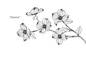 Dogwood flower drawing illustration. Black and white with line art on white backgrounds.
