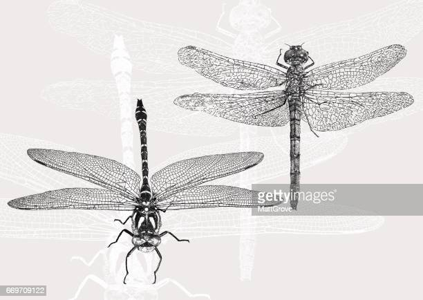 dragonflies - odonata stock illustrations, clip art, cartoons, & icons