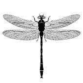 Dragonfly view from above, black and white monochrome illustration, isolated on white background, vector insect, coloring book, banner, card, poster, flyer