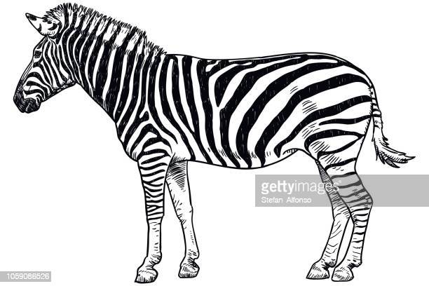 drawing of zebra - zebra stock illustrations