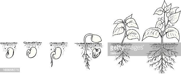 drawing showing the growth of a plant from seed to mature - cultivated stock illustrations