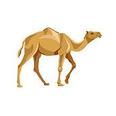 Dromedary camel vector