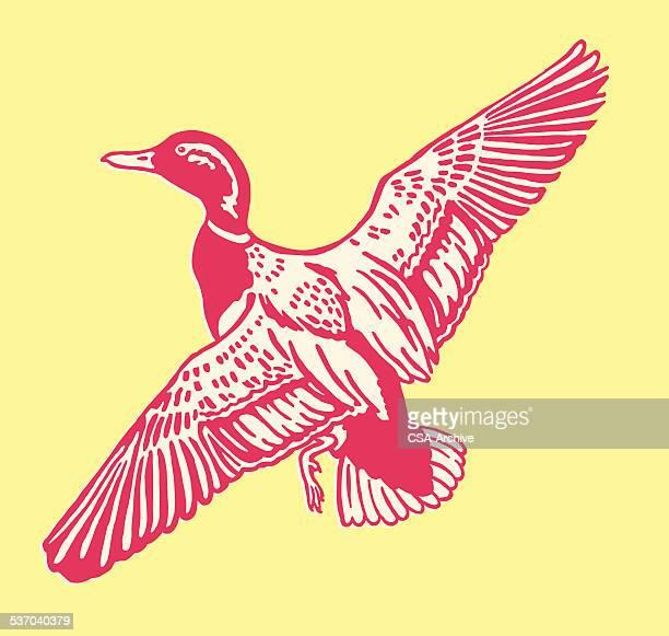duck flying - mallard duck stock illustrations