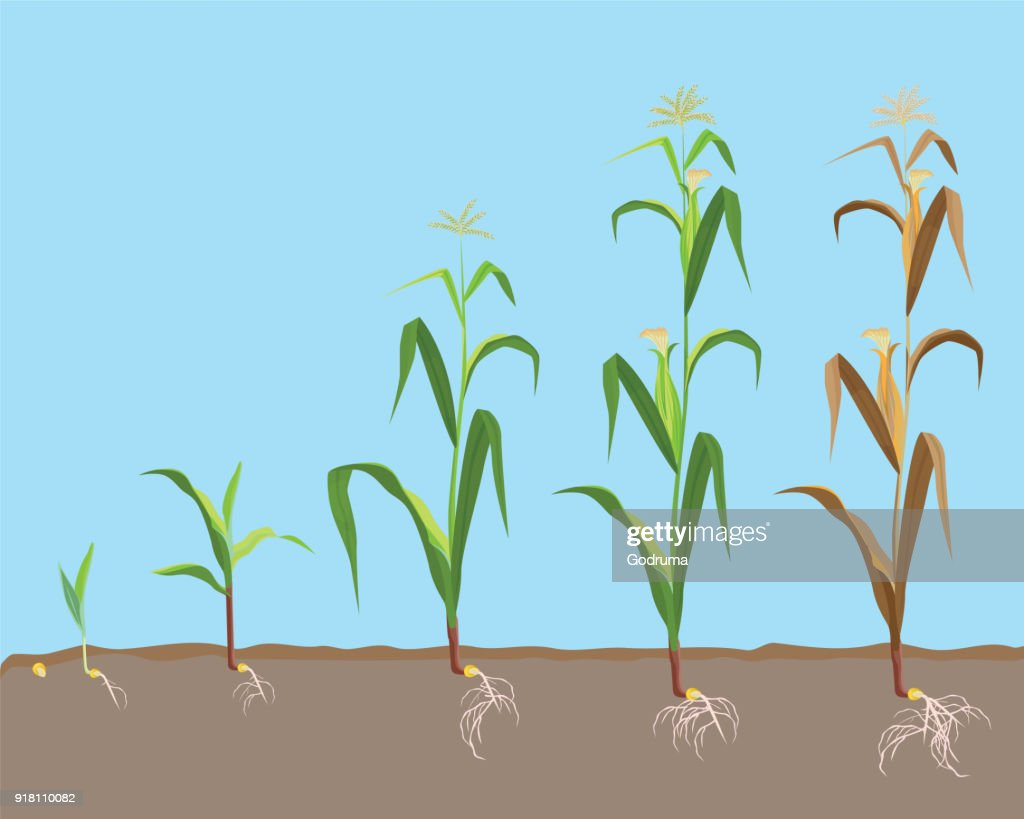 Dying plant of sweet corn from small sprout till dried plant,