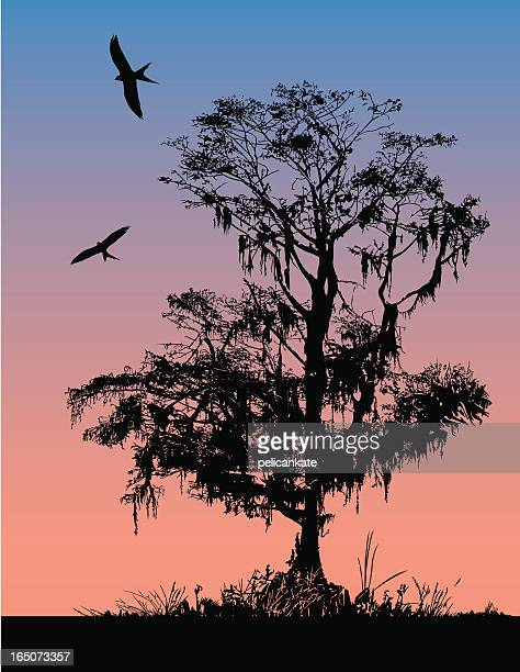 early morning cypress - cypress tree stock illustrations