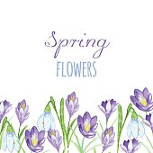 Early spring purple crocus and snowdrops nature beauty flowers vector
