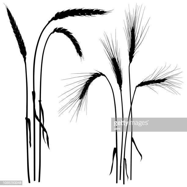 ears of wheat, vector silhouettes - barley stock illustrations, clip art, cartoons, & icons