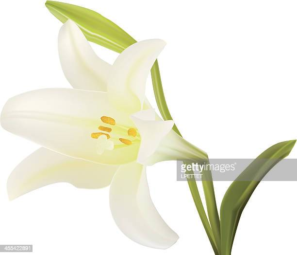 easter lilly - vector illustration - lily stock illustrations, clip art, cartoons, & icons