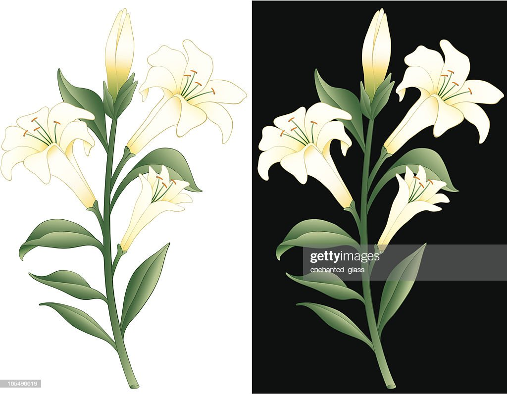 Easter lily stock illustrations and cartoons getty images easter lily izmirmasajfo