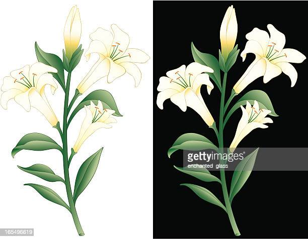 easter lily - lily stock illustrations, clip art, cartoons, & icons