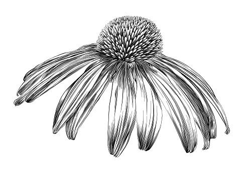 Echinacea Flower or Coneflower Pen and Ink Vector Drawing - gettyimageskorea