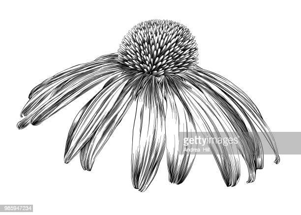 echinacea flower or coneflower pen and ink vector drawing - single flower stock illustrations