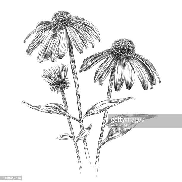 echinacea flowers pen and ink vector watercolor illustration - single flower stock illustrations