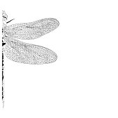 Elegant partial dragonfly insect detailed sketch in black and white