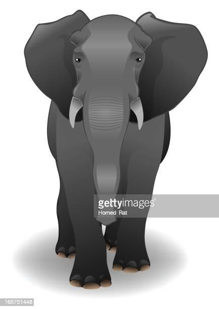 Elephant - Male
