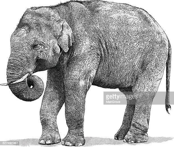 elephant - asian elephant stock illustrations