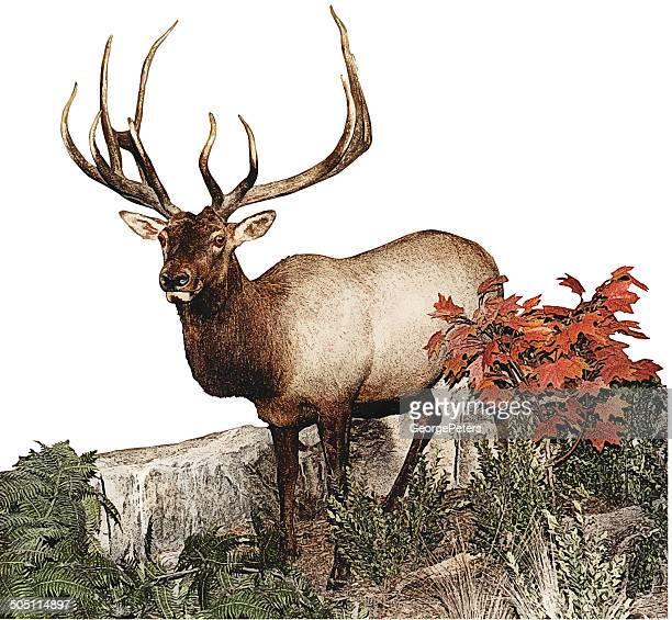 elk - elk stock illustrations