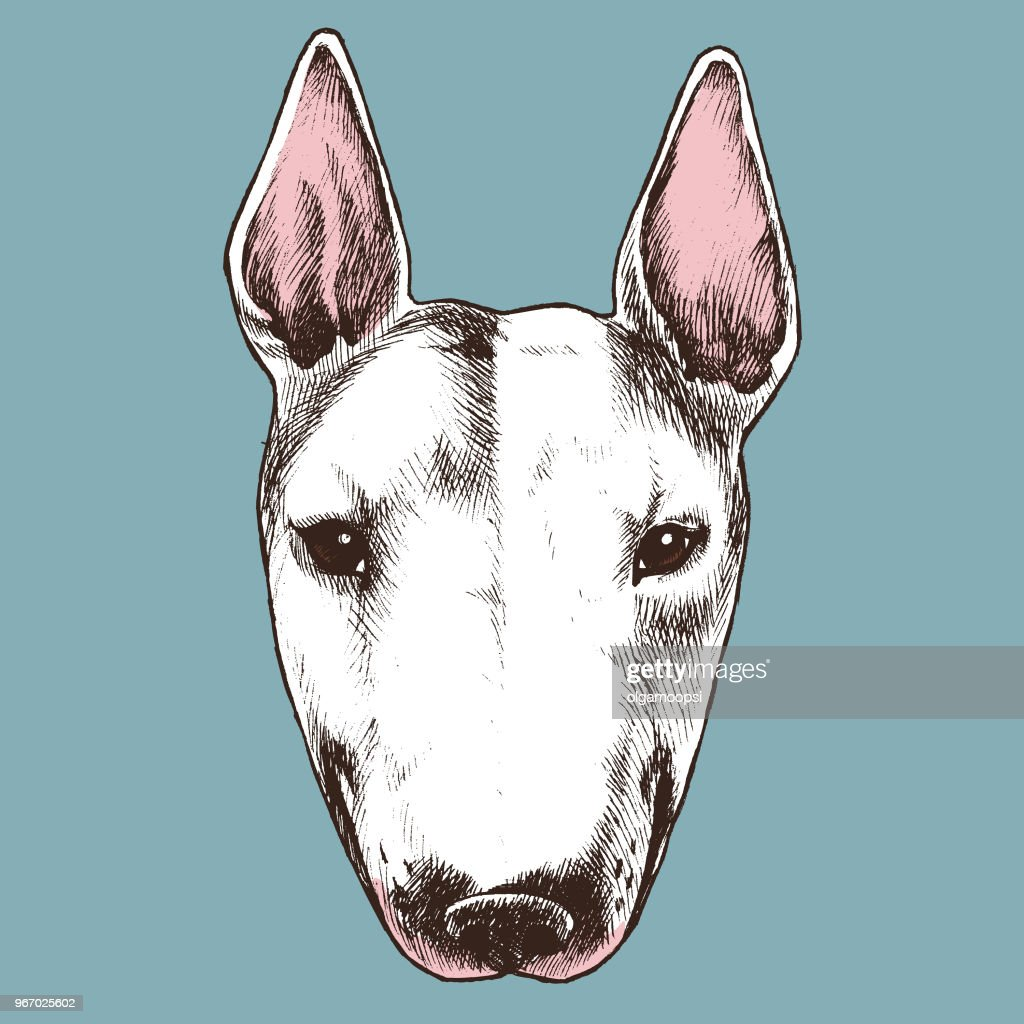 English bull terrier portrait.