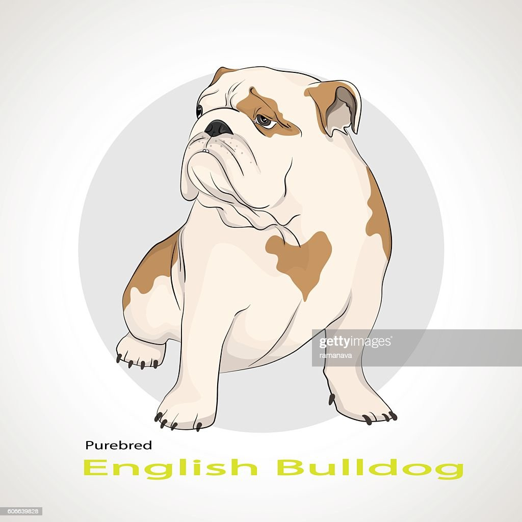 English Bulldog,  British Bulldog