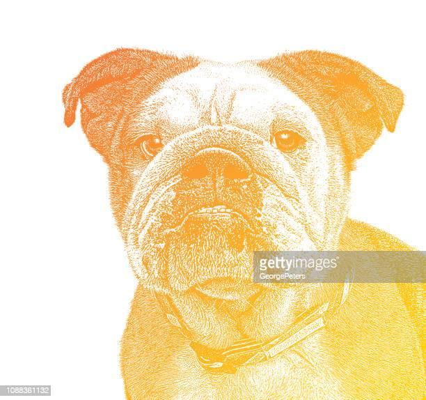 English Bulldog close up