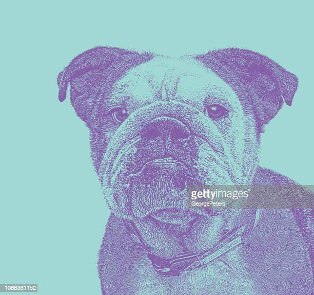 english bulldog close up - dog pound stock illustrations
