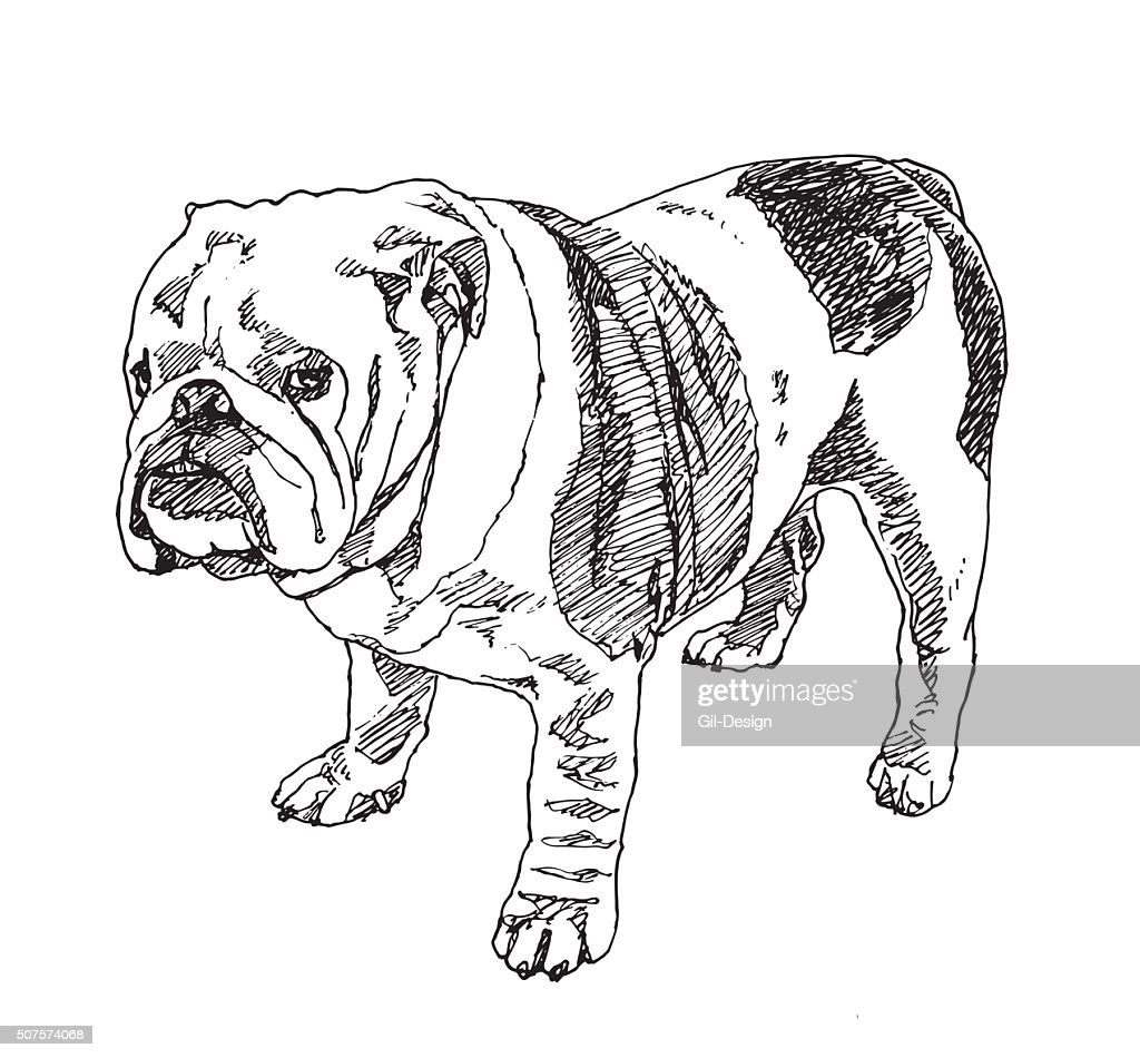 English Bulldog . Vector