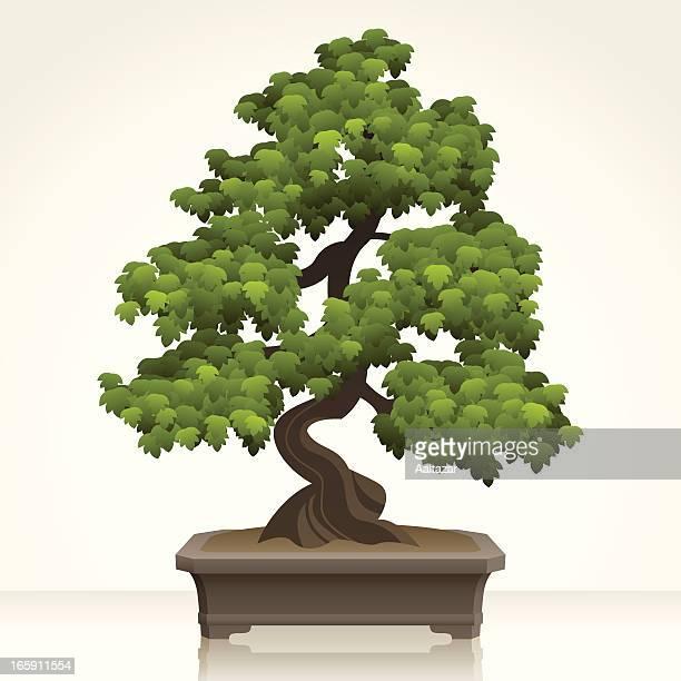 ilustrações, clipart, desenhos animados e ícones de inglês hawthorn bonsai - pilritreiro