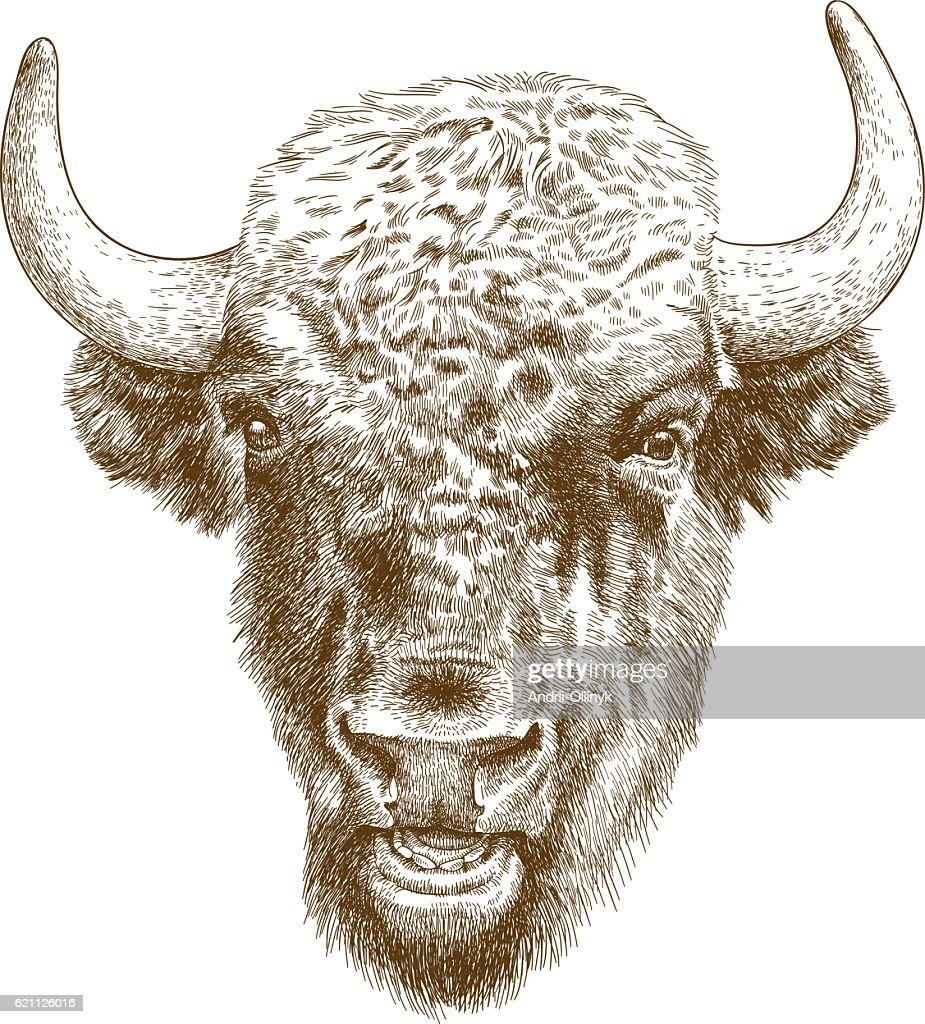 engraving antique illustration of bison head